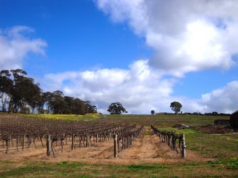 Dandelion Cabernet Vineyard